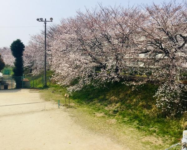 桜満開 38組フォト撮影